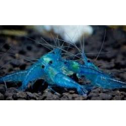 CARIDINE Blu Velvet
