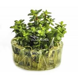 Ammannia sp. 'Bonsai' (Rotala indica) - In Vitro Cup