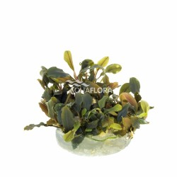 Bucephalandra 'Deep Purple' - In Vitro Cup