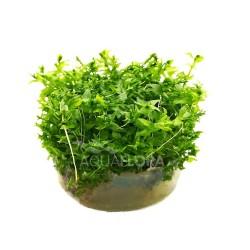 Gratiola viscidula - In Vitro Cup