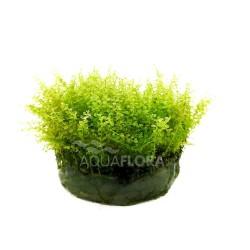 Plagiomnium affine - In Vitro Cup