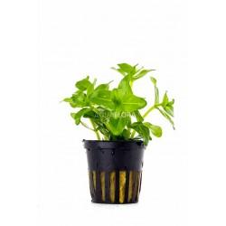 Alternanthera reineckii 'Mini' - In Vitro Cup