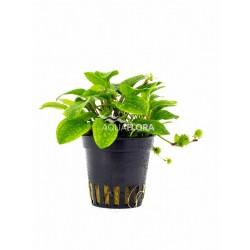Ranalisma rostratum