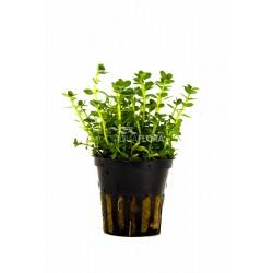 Rotala species 'Green'