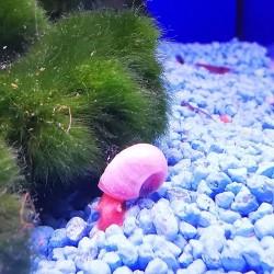 Helisoma anceps Rosa pink...
