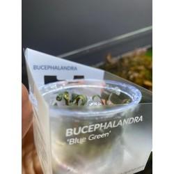 Bucephalandra Blue Green in...