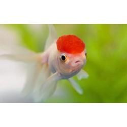 Red Cap Oranda