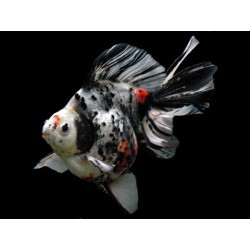 Ryukin calico 7-8 cm