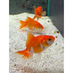 Orifiamma Red White 5/7 cm