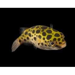 Pesce palla Tetraodon...