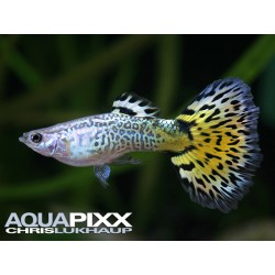 Guppy maschi Leopard Yellow...