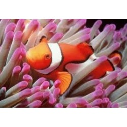 AMPHIPRION OCELLARIS -...