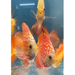 Discus Pigeon Red Map 8-9 cm