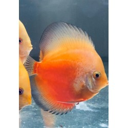 Discus Pigeon White and Red...
